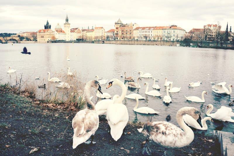 Een troep van zwanen op de banken van de Vltava-Rivier royalty-vrije stock afbeeldingen