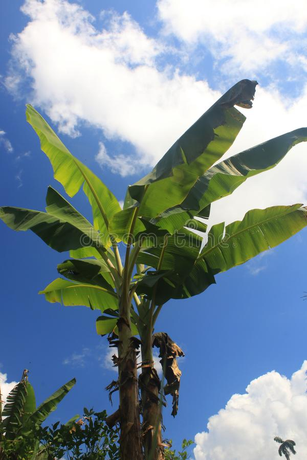 Een tropische mening van een banaanboom zonder bananen bij een zonnige dag met een heldere hemel en een paar wolken royalty-vrije stock foto