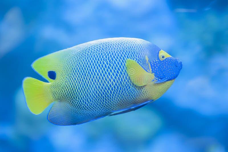 Een tropische vis in aquarium stock foto's