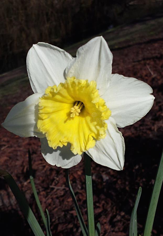 Een trotse gele narcis vanaf Maart royalty-vrije stock foto