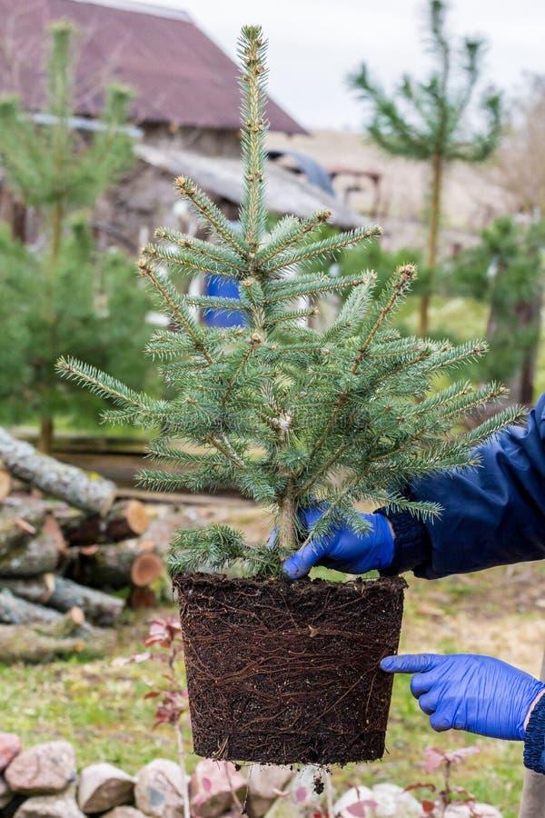 Een tuinarbeider houdt een jonge blauwe nette boom met wortels en aarde stock afbeelding
