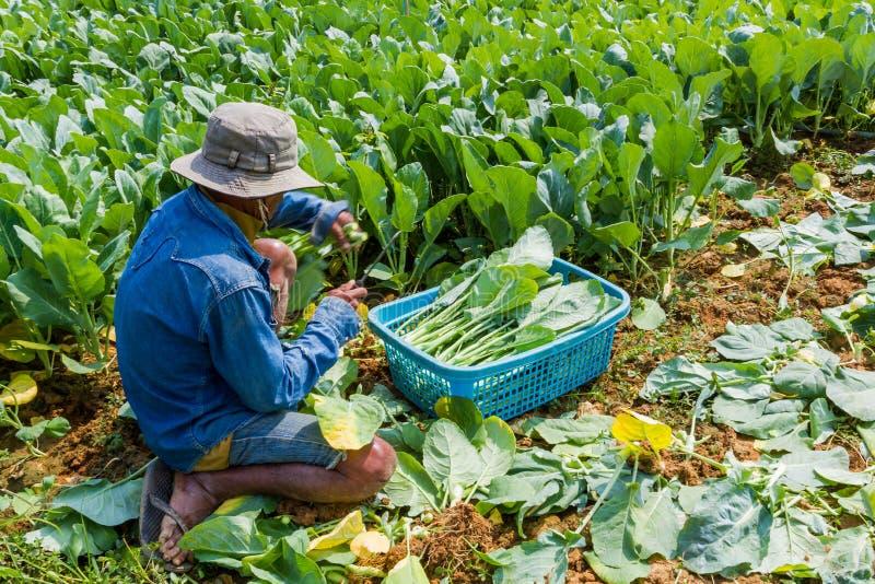 Een tuinman die Chinese boerenkoolgroente planten. royalty-vrije stock fotografie