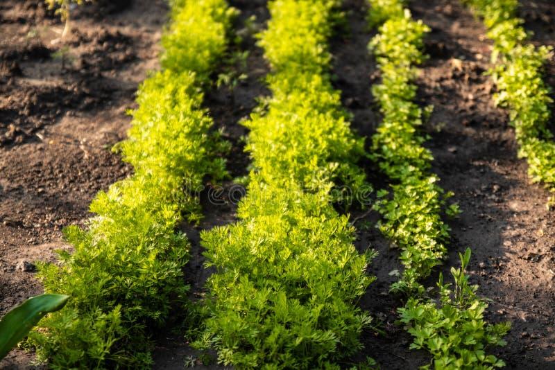 Een tuinperceel voor de landbouw Rijen van jonge en verse wortelinstallaties in de lente royalty-vrije stock fotografie
