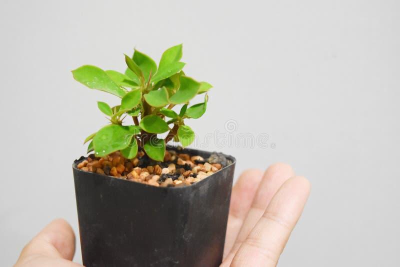 Een uiterst kleine verse boom van Wolfsmelkmilii in een vensterdoos op een handholding royalty-vrije stock foto's