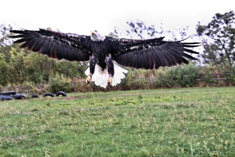 Een uitzicht op een Bald Eagle tijdens de vlucht stock fotografie