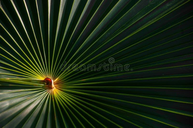 Een varenblad van de palmettopalm met een helder centrum stock foto