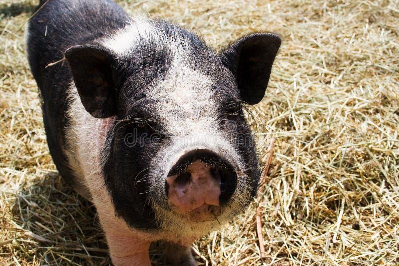 Een varken bij landbouwbedrijf stock fotografie