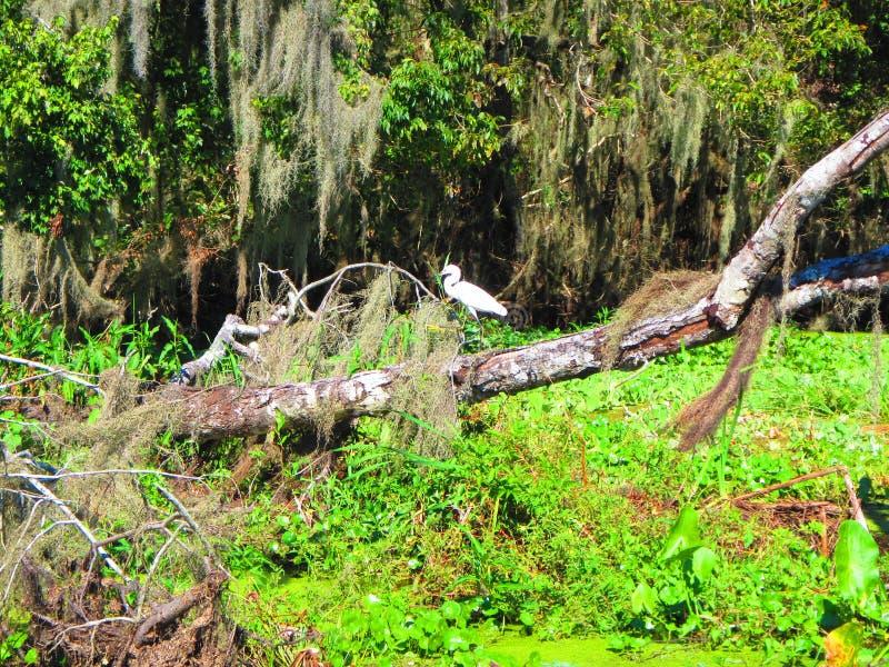 Een Veeaigrette rust langs de bank van een rivier van Florida royalty-vrije stock afbeeldingen