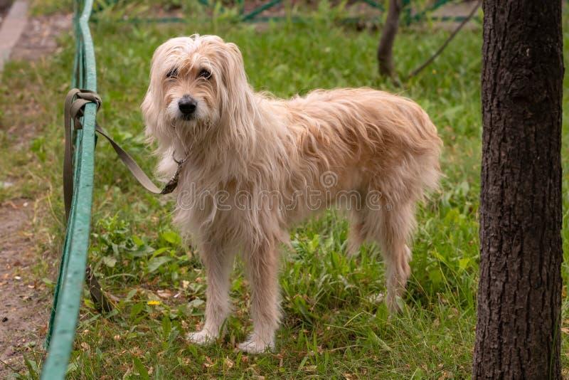 Een verbonden hond wacht op zijn mensen royalty-vrije stock afbeelding