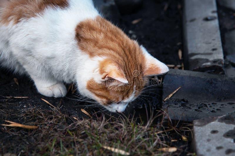 Een verdwaald katten drinkwater van een vulklei stock foto