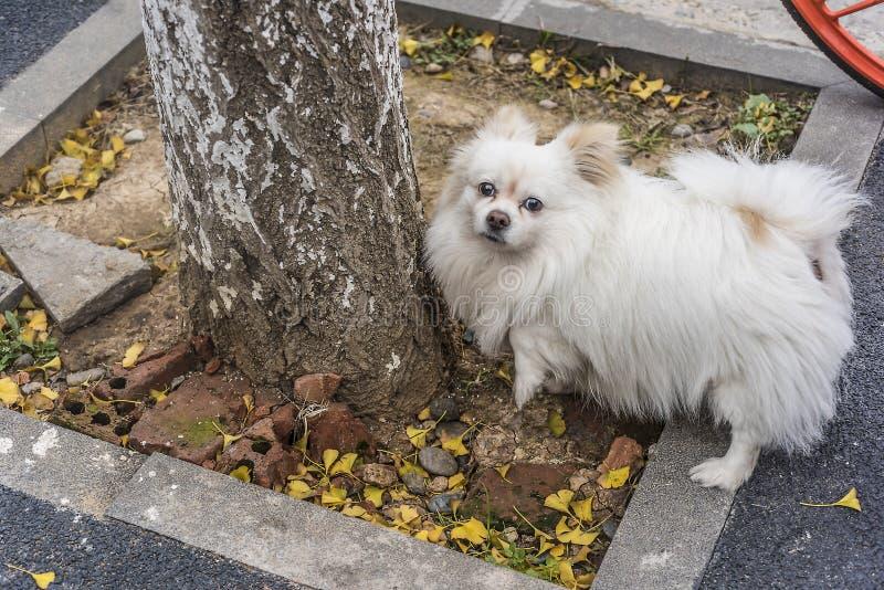 Een verdwaald wit weinig pug in de stad voor de wortels van de boom royalty-vrije stock afbeelding