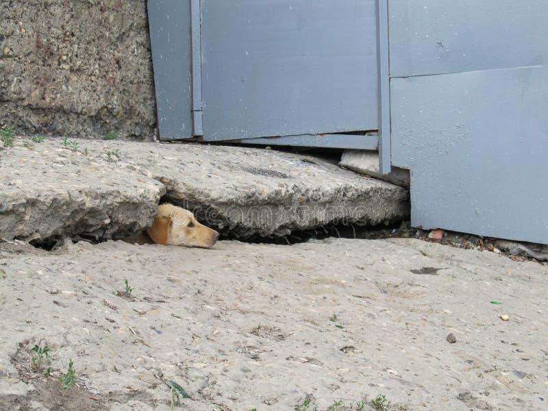 Een verdwaalde hond die uit gespleten in een concrete plak gluren stock afbeeldingen