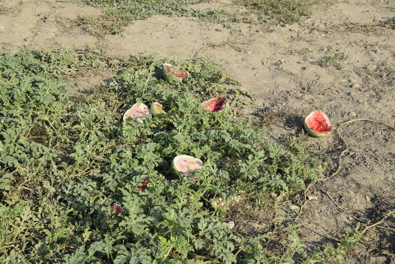 Een verlaten gebied van watermeloenen en meloenen Rotte Watermeloenen Blijft van de oogst van meloenen Rottende groenten op het g royalty-vrije stock afbeeldingen