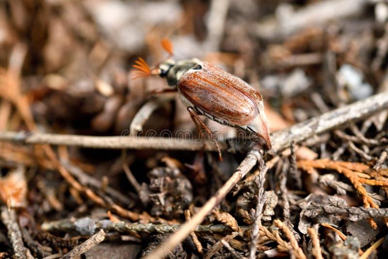 Een verloren die Mei-insect van de rug in het kreupelhout wordt gezien stock foto's