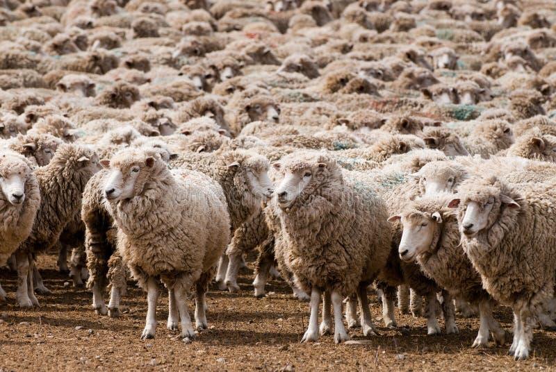 Een vernomen schaap in Patagonië royalty-vrije stock fotografie