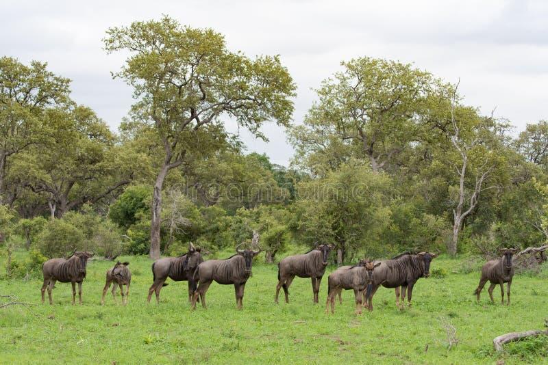 Een verre kudde van het meest wildebeest in een groene opheldering royalty-vrije stock foto's
