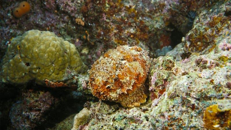 Een verrucosa van Stonefish Synanceia camoufleert zich in zand, Papoea Niugini, Indonesië stock foto's