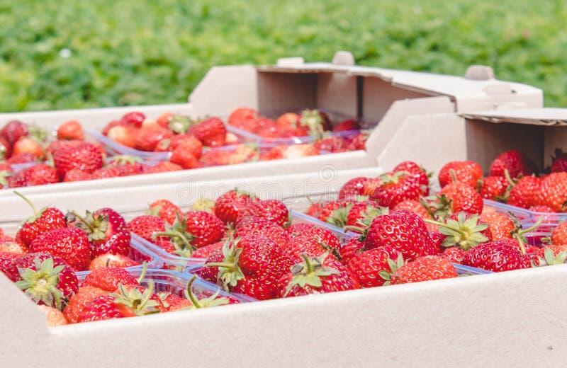 Een vers gewas van rijpe rode organische aardbeien ligt in een kartondoos royalty-vrije stock foto's