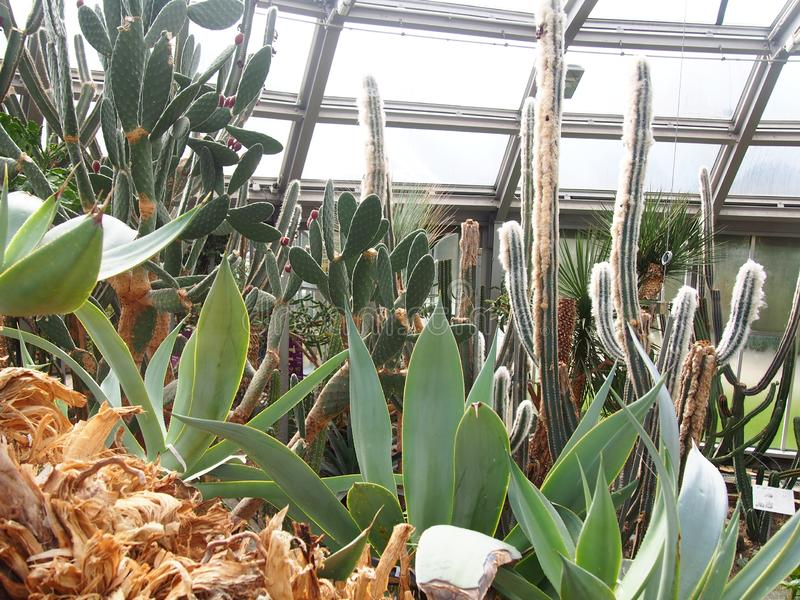 Een verscheidenheid van Agave van de cactusvossestaart, Indisch-figl-Indiër, enz., botanische tuin Berlijn -Berlijn-dahlem stock afbeeldingen