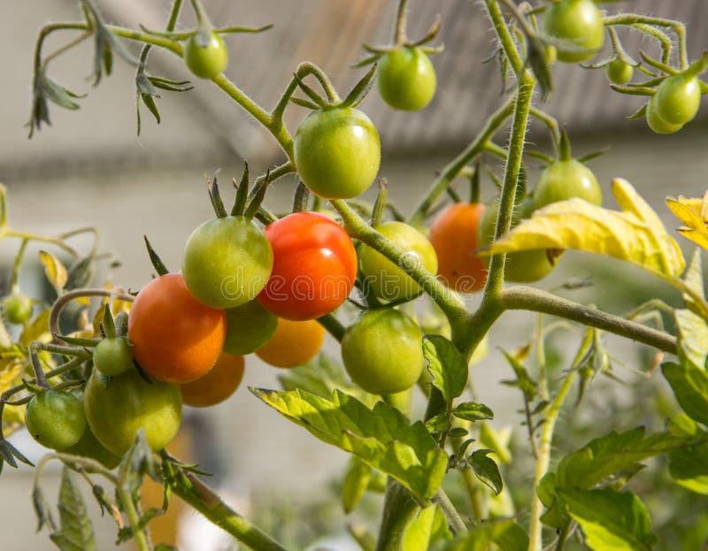 Een verscheidenheid van kleine tomaten die geleidelijk aan op de tak rijpen stock afbeelding