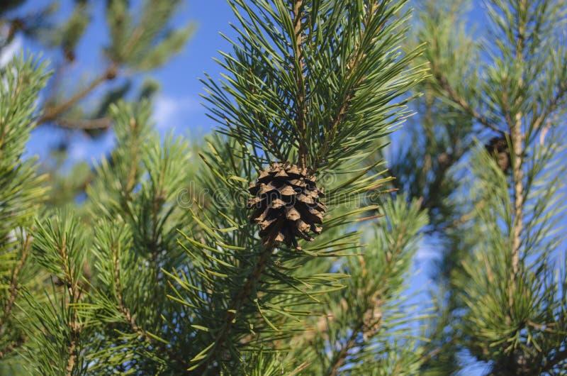 Een verse denneappel op een denneappelboom stock foto's