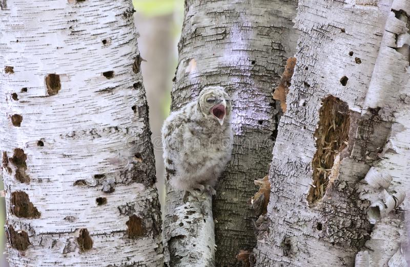 Een Versperde uiljonge uil streek op een tak neer uitroepend voor voedsel in het bos in Canada royalty-vrije stock fotografie