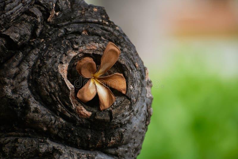 Een verwelkte bruine plumeria in het boomgat stock foto's