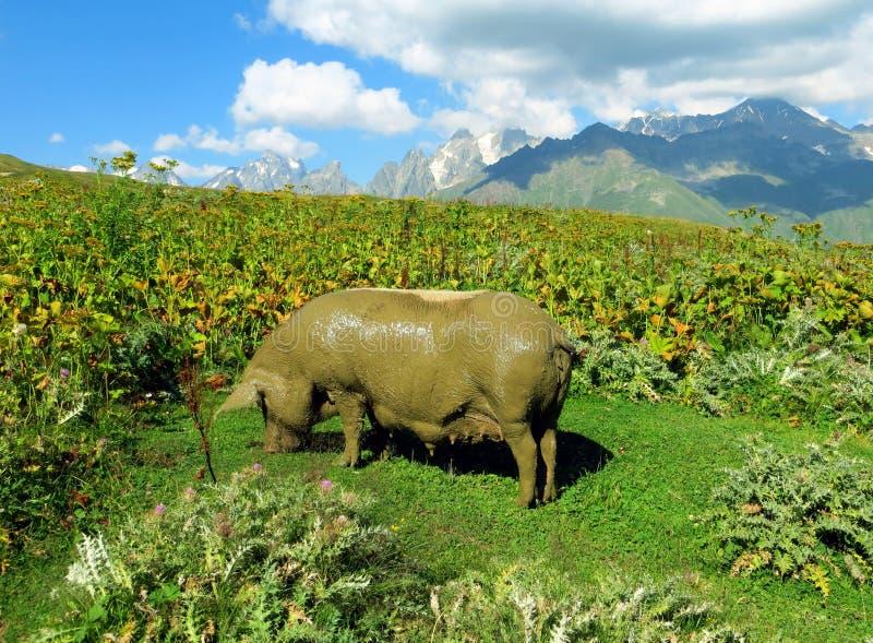 Een vet vuil varken die in de bergen, Georgië eten royalty-vrije stock foto's