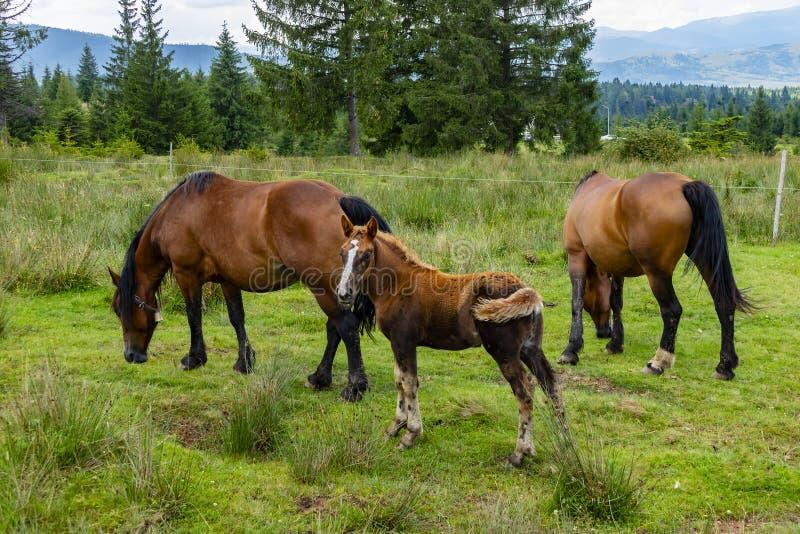 Een Veulen en Twee Paarden die in een Groene Weide weiden royalty-vrije stock afbeeldingen