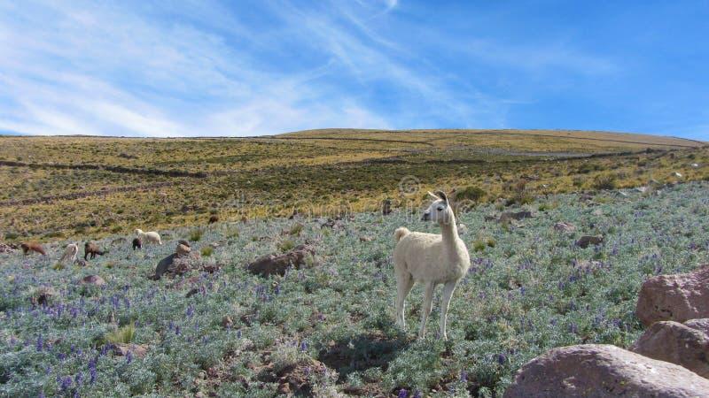 Een vicuña op het gebied van het kleine dorp van Chatahuana, op t stock afbeelding