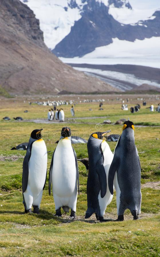 Een Viertal van Koning Penguins op een Grasrijk Gebied met Sneeuw erachter Bergen royalty-vrije stock afbeeldingen