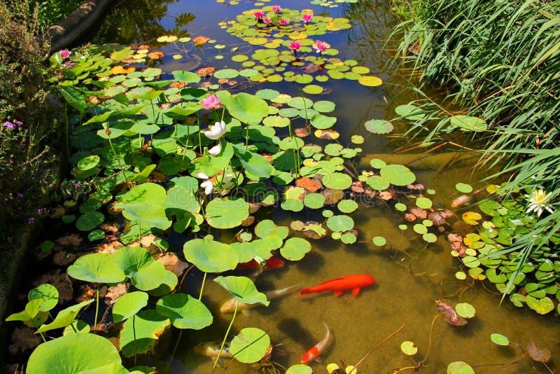 Een vijver met waterlelies en Leliestootkussens stock afbeeldingen