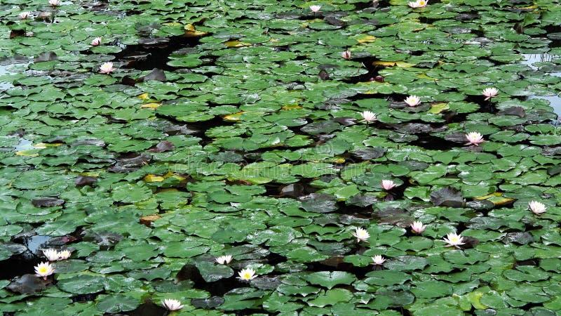 Een vijverhoogtepunt van groene lotusbloembladeren en lichtrose lotusbloembloemen royalty-vrije stock afbeelding