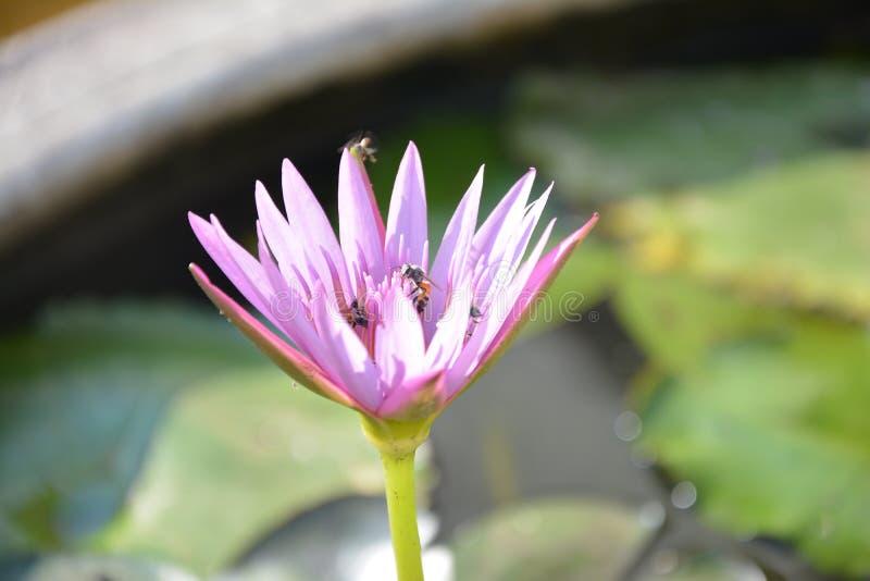 Een violette lotusbloembloem royalty-vrije stock foto's