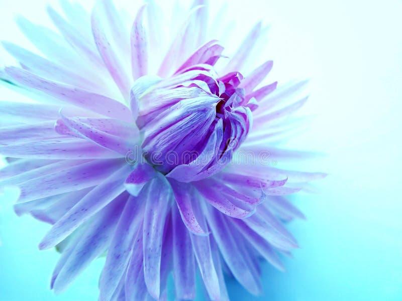 Een violette purpere Dahliabloem met artistiek effect royalty-vrije stock fotografie