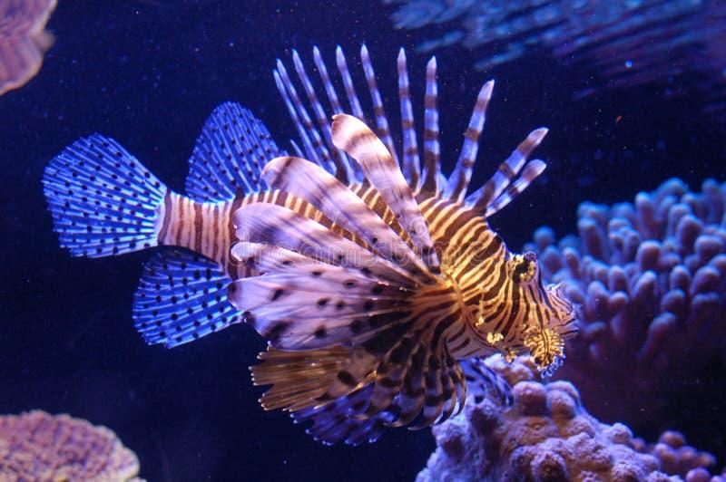 Een vis in het rode overzees royalty-vrije stock foto's