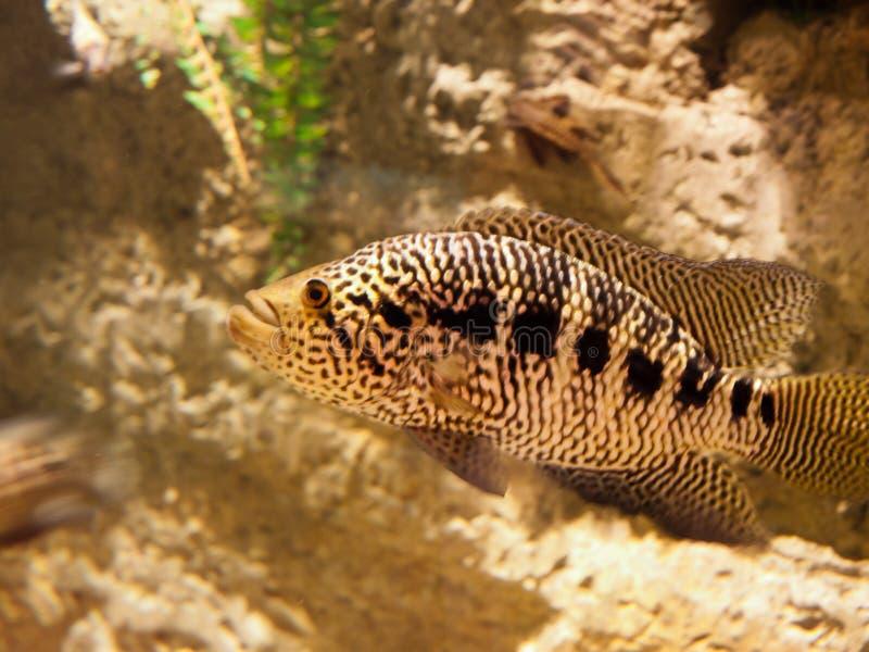 Een vis van de zoet watertijger stock afbeelding