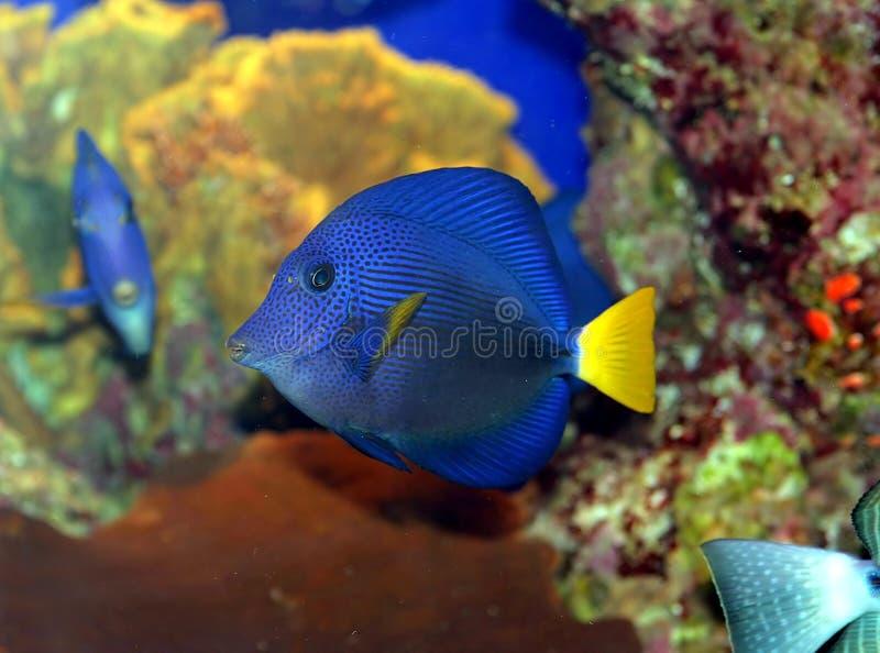 Een vis van het Koraal in het Rode Overzees royalty-vrije stock fotografie