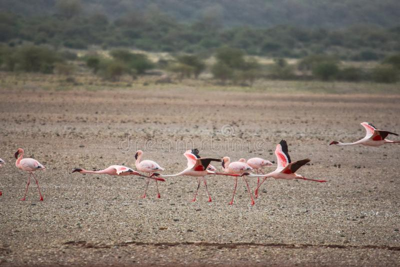 Een vlaag van flamingo's bij Meer Magadi, Rift Valley, Kenia royalty-vrije stock foto's