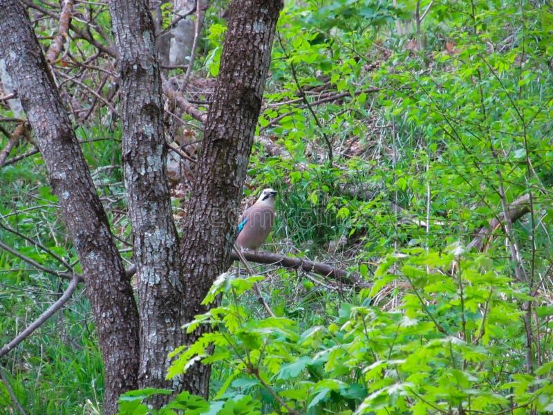 Een Vlaamse gaai zit op een boomtak en piept uit van achter een boomstam in een dik groen de lentebos royalty-vrije stock foto