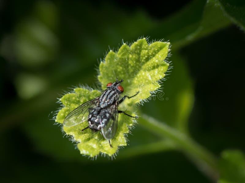 Een vleesvlieg met rode ogen die op een klein groen blad zitten royalty-vrije stock afbeelding