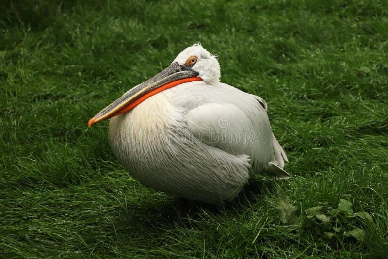 Een vlek-Gefactureerde pelikaanzitting op gras in koude ochtend Hij die op sommige vissen of wat een ander voedsel wachten stock afbeeldingen
