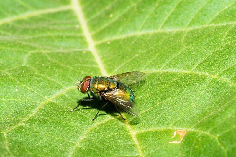 Een vlieg met een geelachtige groene buik en grote rode ogen, zit op de oppervlakte van een groen blad Macro royalty-vrije stock foto's