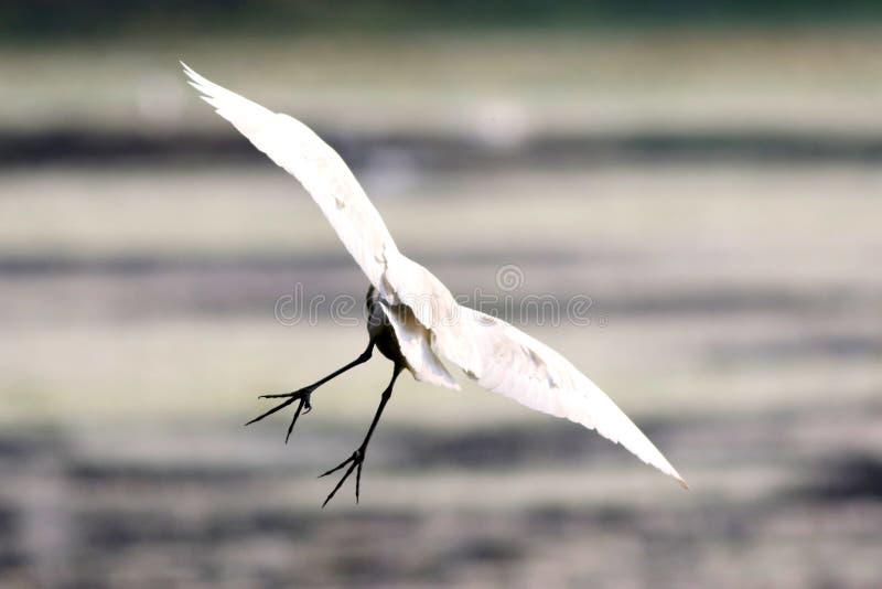Een Vliegende Aigrette stock fotografie