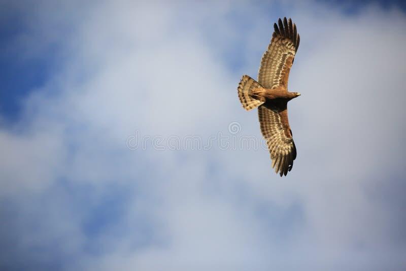 Een vliegende Getaande adelaar stock foto's