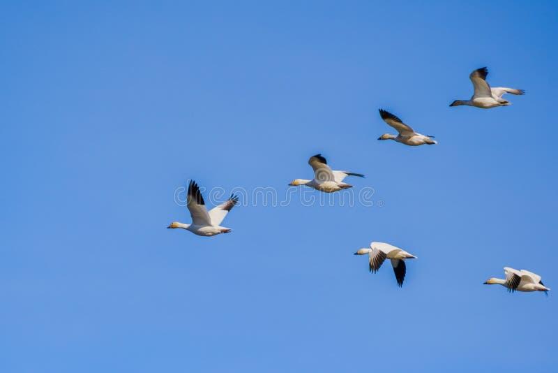 Een vliegende groep Sneeuwganzen Chen caerulescens royalty-vrije stock foto