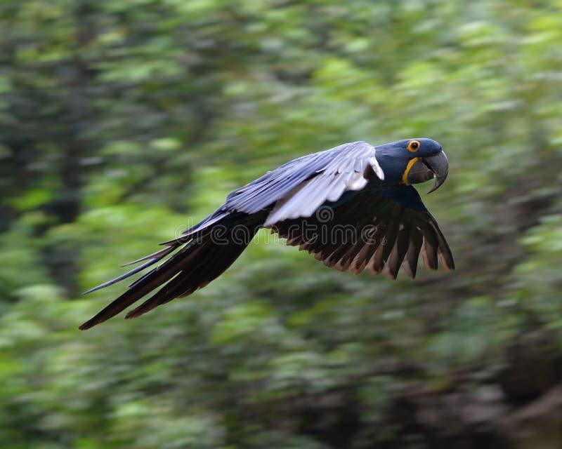 Een vliegende Hyacintara in hout royalty-vrije stock foto's