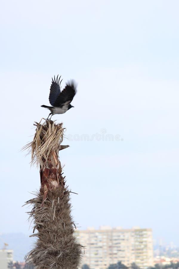 Een vliegende kraai stock afbeelding