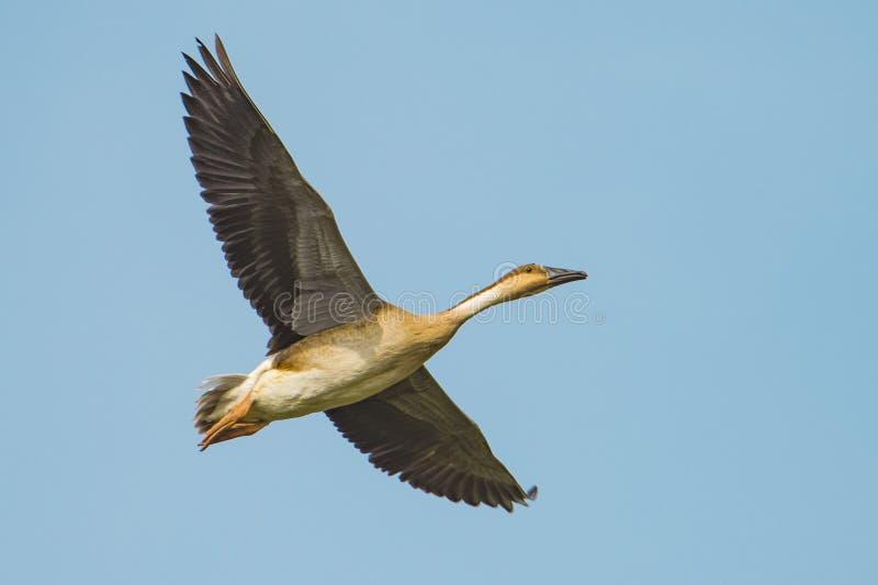 Een vliegende wilde gans royalty-vrije stock afbeelding