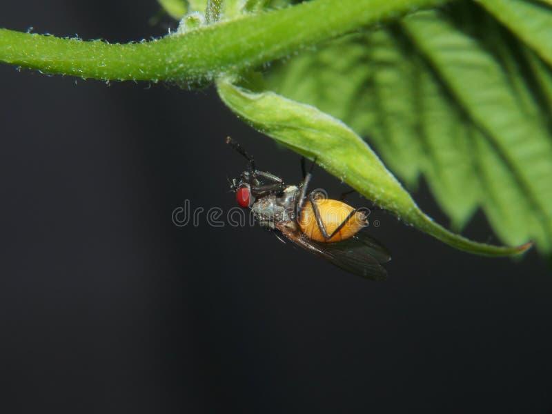 Een vliegzitting op een blad van de installatie Vliegend insect stock fotografie